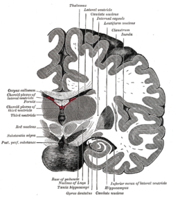 Insular cortex - Wikipedia, the free encyclopedia