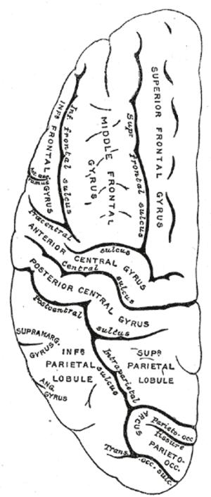 Brodmann area 40 - Image: Gray 725