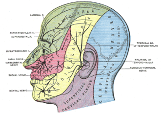 Supratrochlear nerve - Sensory areas of the head, showing the general distribution of the three divisions of the fifth nerve. (Supratrochlear nerve labeled at upper left.)