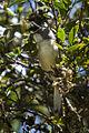 Gray Apalis - Naru Moru - Kenya 06 9002 (17327701652).jpg