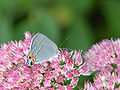 Gray Hairstreak Strymon melinux Butterfly 2000px.jpg