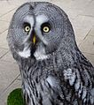 Great Gray Owl - Flickr - gailhampshire (2).jpg