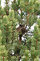 Great Horned Owl on a nest, Othello Cemetery.jpg