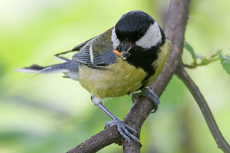 Great Tit Lodz(Poland)(js)17.jpg