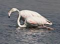 Greater Flamingo, Phoenicopterus roseus at Marievale Nature Reserve, Gauteng, South Africa (20848205494).jpg