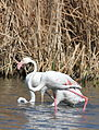Greater Flamingo, Phoenicopterus roseus at Marievale Nature Reserve, Gauteng, South Africa (21459985232).jpg