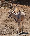Greater Kudu (Tragelaphus strepsiceros) male coming to drink ... (33085693165).jpg