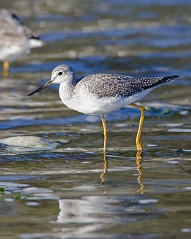Greater Yellowlegs2.jpg