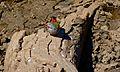 Green-winged Pytilia (Pytilia melba) female (6618905029).jpg