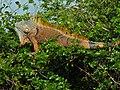 Green Iguana (Iguana iguana) (6775999811).jpg