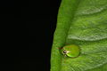 Green Rounded Planthopper from Central Java (6451557091).jpg