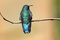 Green Violet-ear (Colibri thalassinus) (5771964509).jpg