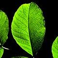 Green leaf - Flickr - Stiller Beobachter.jpg