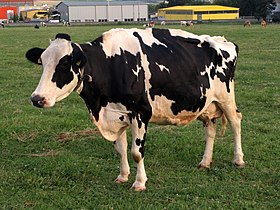 Grenchen - Black White Cow.jpg