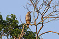 Grey-lined hawk (Buteo nitidus) juvenile.JPG