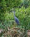 Grey Heron (222509343).jpeg