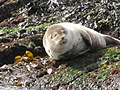 Grey Seal, Rathlin Island.jpg