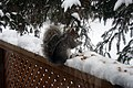 Grey Squirrel 0248 (4241705941).jpg