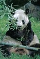 Großer Panda Yan Yan Berlin W 09.jpg