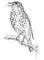 Grote lijster Turdus viscivorus Jos Zwarts 3.tif
