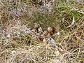Grouse eggs - geograph.org.uk - 815428.jpg