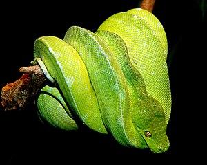 綠樹蟒(圖片來源:維基百科)