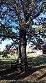 Grupa drzew, 4. dębów i 1. lipy na skraju lasu prudnickiego, Prudnik 2018.10.31 (02).jpg