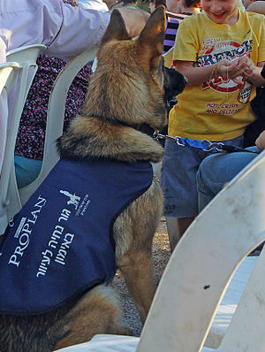English: training guide dog puppy in Israel