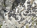 Guillemots on the cliff at Marwick Head (detail) - geograph.org.uk - 180933.jpg