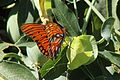 Gulf Fritillary butterfly on a passion fruit vine.JPG