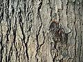 Gymnocladus dioicus (5).JPG