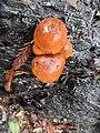 Gymnopilus croceoluteus Hesler 588347.jpg