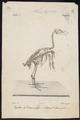 Gyps fulvus - skelet - 1842-1848 - Print - Iconographia Zoologica - Special Collections University of Amsterdam - UBA01 IZ18100073.tif