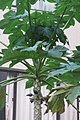 HK 上環 Sheung Wan 裕林臺 U Lam Terrace 木瓜樹 papaya tree October 2017 IX1 04.jpg