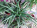 HK Mid-levels High Street clubhouse green leaves plant February 2019 SSG 81.jpg