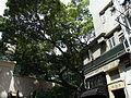 HK Sheung Wan 15 Upper Station Street Tai Shan House n Blake Garden banyan tree May-2012.JPG