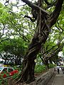 HK TST Nathan Road green Sidewalk Chinese Banyan trees Aug-2015 DSC (14).JPG