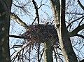 Habicht Horst (Accipiter gentilis).jpg