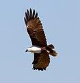 Haliastur indus -Karratha, Pilbara, Western Australia, Australia -flying-8 (5).jpg