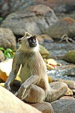 Hanuman Langur.jpg