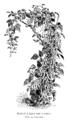 Haricot d'Alger noir à rames Vilmorin-Andrieux 1904.png