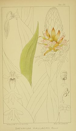 Harry Bolus - Orchids of South Africa - volume III plate 026 (1913).jpg