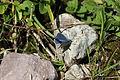 Hauhechel-Bläuling Schmetterling 1.JPG