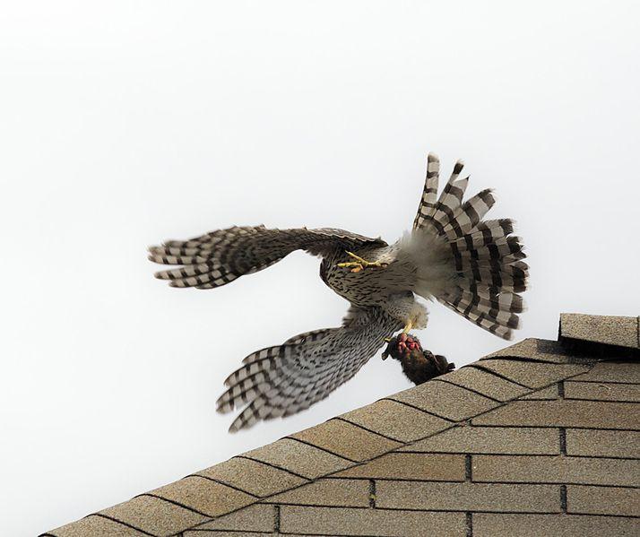 File:Hawk flying away (6310399052).jpg