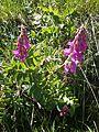 Hedysarum hedysaroides RHu 03.JPG
