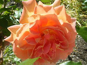 English: Rosa 'Helen Hayes' (Hybrid Tea Rose) ...