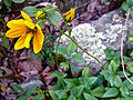 Helianthus occidentalis - Few Leaf Sunflower.jpg