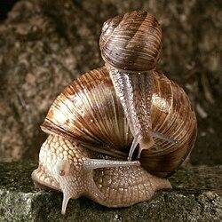 Un escargot de Bourgogne avec son petit