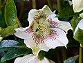 Helleborus orientalis RTBG.jpg