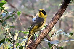 Helmeted Honeyeater at Healesville Sanctuary in Healesville, Victoria, Australia. Birds are being bred under a captive breeding program for reintroduction into the wild over time.jpg